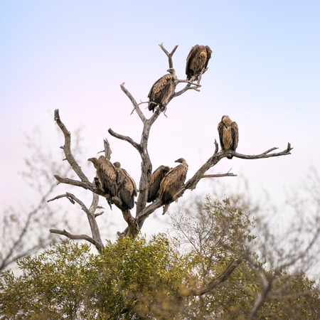 White-backed vultures in the branches of a dead tree. Kruger National Park, South Africa, Square format. Stock Photo
