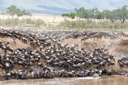 Zebra mingle with thousands of wildebeest on the banks of the Mara River during the annual great migration. In the Masai Mara, Kenya. Every year 1.5 million wildebeest make the arduous trek from Tanzania to Kenya