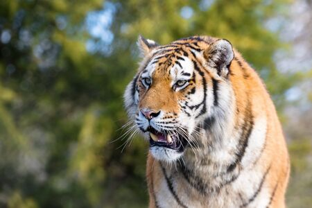 Young adult Siberian tiger, otherwise known as the Amur Tiger, bares his teeth. These big cats are indigenous to far eastern Russia.