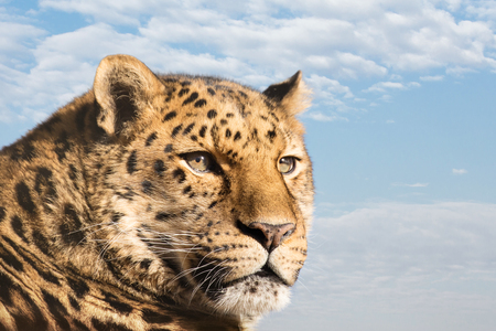Beautiful Amur leopard against blue sky and cloud background. A species of leopard indigenous to southeastern Russia and northeast China, and listed as Critically Endangered. Space for text. Stock Photo
