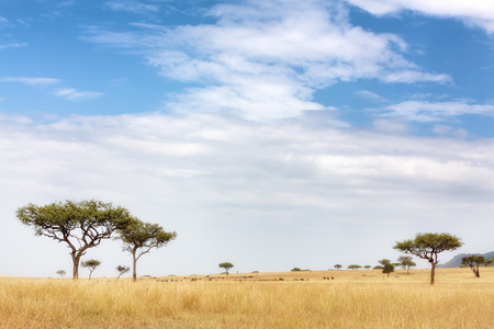 Acacia tress in the Masai Mara, Kenya. Wildebeest and zebra can be seen grazing in the distance Stock Photo