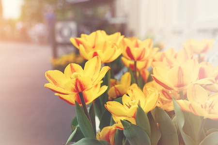 Window box of yellow and orange tulips in Amsterdam. Summer street scene with retro matte finish and light leaks.