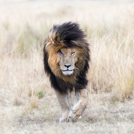 Adult male lion emerging from the red oat grass of the Masai Mara, This mature lion is known locally as Scar or Scarface due to the prominent wound over his right eye.