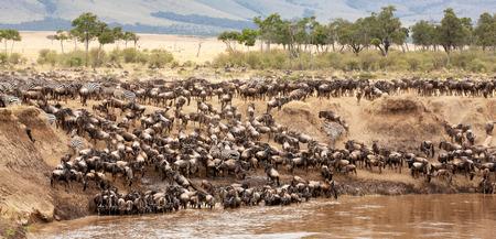 Un panorama di gnu e zebre raccolti sulle rive del fiume Mara durante la grande migrazione annuale. Masai Mara, Kenya.