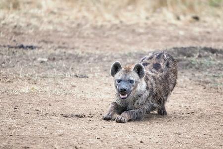 Laughing hyena. A young adult hyena stretches and bares teeth. Masai Mara, Kenya.