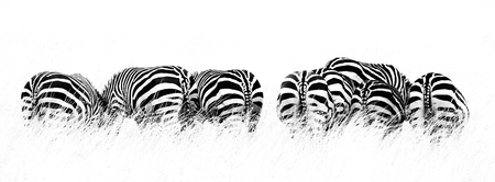 Back view of several Burchell's zebra in a row and grazing on the lush grass of the Masai Mara, Kenya. High contract black and white image in horizontal popular social media banner proportions Stock fotó