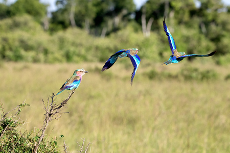 Lilac-breasted roller flight sequence. Takeoff from a branch in the Masai Mara, Kenya. Stock Photo