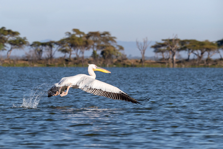 Great white pelican, Pelicanus Onocrotatus, takes off from the blue waters of Lake Naivasha, Kenya. Imagens