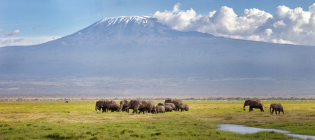 Panorama of Mount Kilimanjaro with a herd of elephants walking across the foreground. Amboseli national park, Kenya.