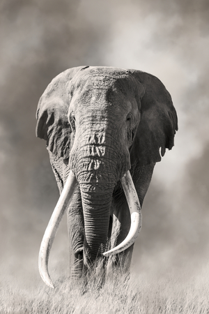 Giant tusked bull elephant, Tusker Tim, in Amboseli, Kenya, in a cloud of dust. These super tuskers are almost poached out of existence, and only a handful remain that carry the super tusk gene.