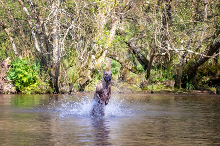 Young brindled whippet has fun playing in a river in the English countryside