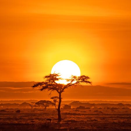 Impala under an acacai tree. Sunrise in Amboseli National Park, Kenya.