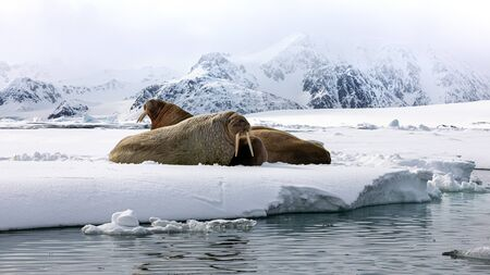 An ugly of walruses on the fast ice around Svalbard, a Norwegian archipelago between mainland Norway and the North Pole