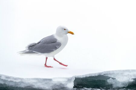 Herring gull, Larus argentatus, on the ice shelf along the water edge, Svalbard, a Noerwegian archipelago between mainland Norway and the North Pole. White snow background with space for text.