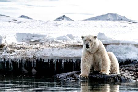 El oso polar macho adulto se sienta al borde del hielo en Svalbard, un archipiélago noruego entre la Noruega continental y el Polo Norte. Foto de archivo