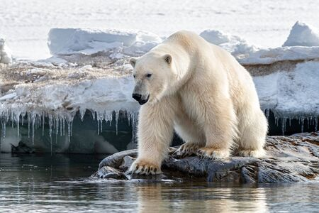 Adult male polar bear sits at the edge of the fast ice in Svalbard, aNorwegian archipelago between mainland Norway and the North Pole