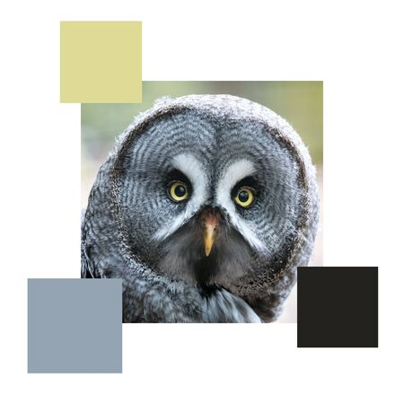 Closeup of the face of a great grey owl, set with colour swatches and space for text. Colour scheme themed image. 免版税图像