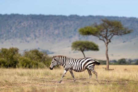 Common zebra, Equus Quagga, walking across the grasslands of the Masai Mara, Kenya. Side view with acacia trees and the Oloololo escarpment beyond..