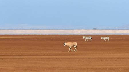 A fringe-eard oryx and to zebra walk across a dry lake bed in Amboseli. Blue sky and heat haze background.