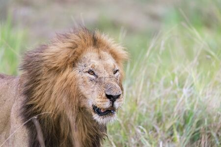 Portrait of an adult male lion, Panthera Leo, in the long grass of the Masai Mara, Kenya Stock Photo