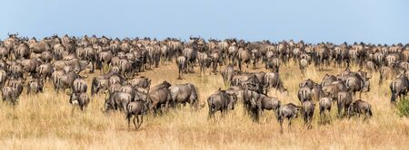 Following the wildebeest herds during the annual Great Migration in the Masai Mara, Kenya. Social Media banner format.
