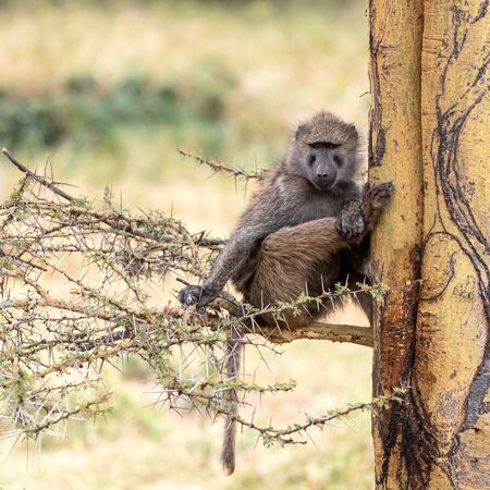 Olive baboon, Papio anubis, sitting in the branches of a Fever tree in Lake Nakuru National Park, Kenya.