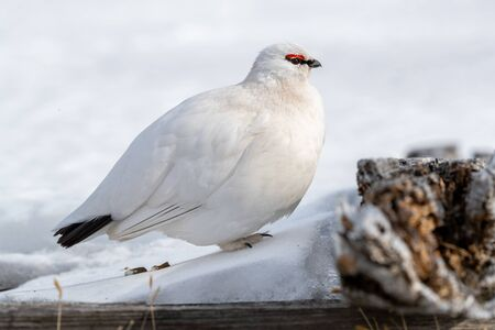 Adult Rock Ptarmigan, Lagopus muta, in the natural habitat of the snow of Svalbard. This bird is displaying winter plumage. Banco de Imagens