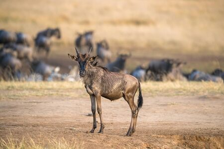 Young wildebeest has just made his first crossing of the Mara River during the annual Great Migrattion in Kenya.