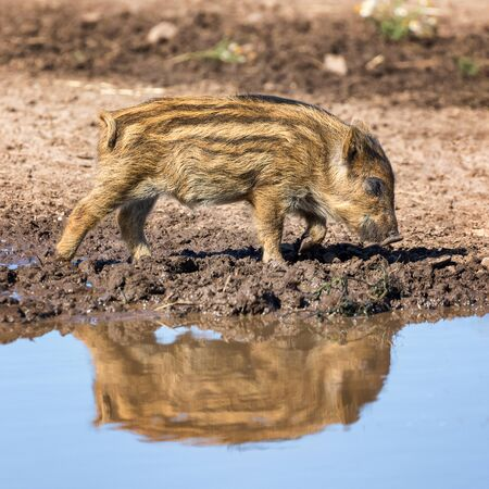 Baby wild boar, Sus scrofa, walking through mud and reflected in a puddle. Square composition.