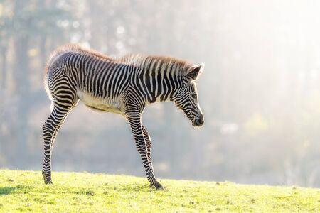 Awkward young Grevy's zebra, Equus grevyi,  in early morning sunlight. Foto de archivo - 134869061