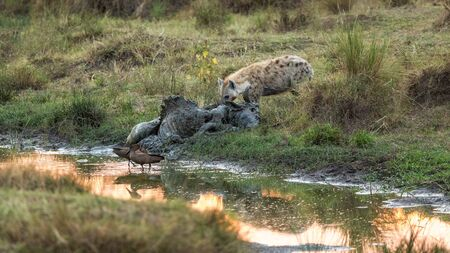 Hyena scavenges meat from a rotting wildebeest carcass on the banks of the Mara River, Kenya, at sunrise. A pair of hammerkopp birds can be seen in the foreground. Stockfoto