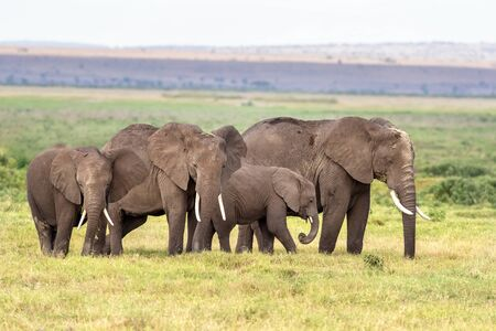Family group of elephants, with matriarch, older daughter and two calves, in the lush grasslands of Amboseli National park.