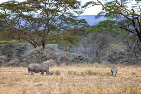 Mother and baby white rhinoceros grazing in Lake Nakuru National Park, Kenya, with a backdrop of stauesque fever trees.
