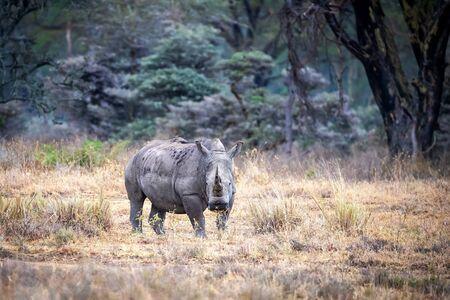 Adult female white rhinoceros standing in a clearing of the fever tree forest of Lake Nakuru, Kenya. 写真素材