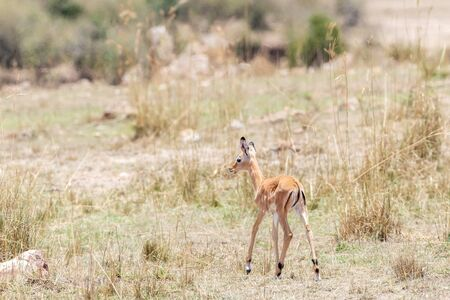 Baby impala in grasslands of the Masai Mara conservancy triangle, Kenya. 스톡 콘텐츠