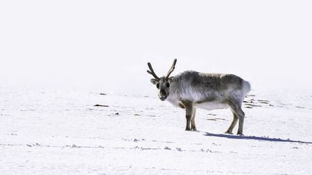 Young male reindeer on the snow of Svalbard, a Norwegian archipelago between mainland Norway and the North Pole. The reindeer is associated with Christmas across the world. 스톡 콘텐츠