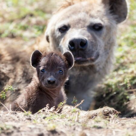 Spotted hyena cub, Crocuta crocuta, emerging from the den with mother behind.  This young cub hasn't yet developed the characteristic spots, which start to develop around aged two months.