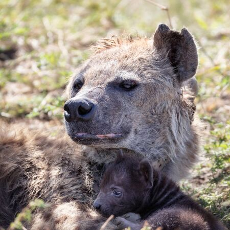 Spotted hyena, Crocuta crocuta, with young cub. This is a mature mother who has seen a lot of action and is missing an ear. 스톡 콘텐츠