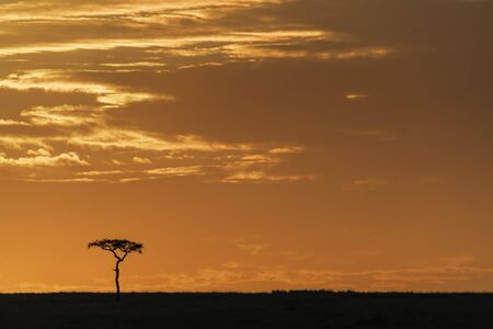 Acacia tree at sunset in the Masai Mara. Silhouette on the horizon against colourful sky in Kenya, with space for text.