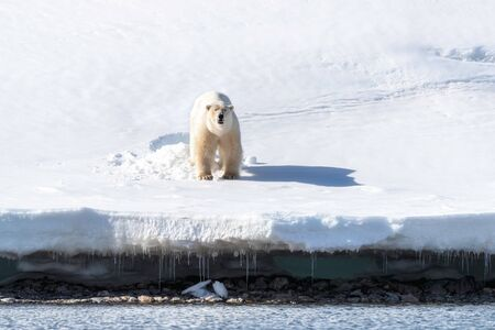 Adult male polar bear stands at the edge of the ice in Svalbard, a Norwegian archipelago between mainland Norway and the North Pole. He has emerged from a bed that he has made from the snow.