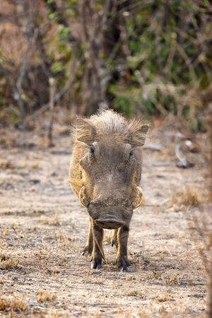 Adult warthog, phacochoerus africanus, in Kruger National Park, South Africa.