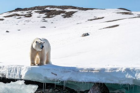 Adult male polar bear stands at the edge of the ice in Svalbard, a Norwegian archipelago between mainland Norway and the North Pole 스톡 콘텐츠