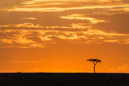Acacia tree at dusk in the Masai Mara. Silhouette on the horizon against colourful sky in Kenya, with space for text.