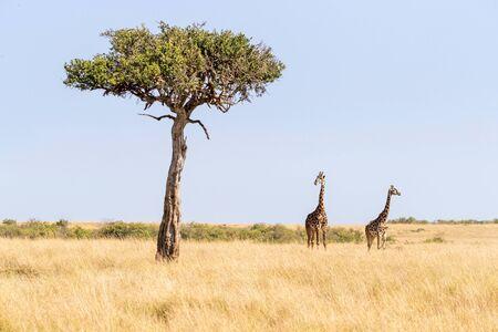Two Maasai giraffe, male and female, next to an acacia tree in the Masai Mara, Kenya.