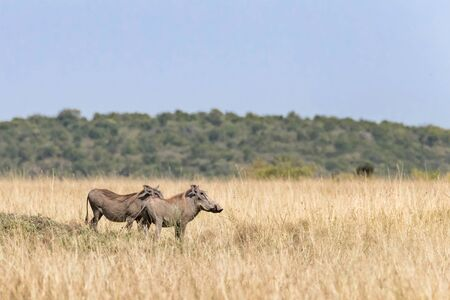 Side profile of two adult warthogs, hacochoerus africanus, in the long grass of the Masai Mara, Kenya. 스톡 콘텐츠