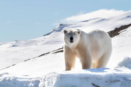 Adult male polar bear stands at the edge of the ice in Svalbard, a Norwegian archipelago between mainland Norway and the North Pole. Front view with snow and blue sky background.