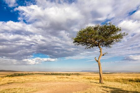 Lone acacia tree in the long grass of the Masai Mara, Kenya. Beautiful cloudscape with space for text.