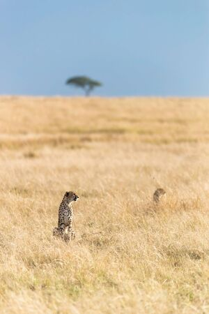 Two watchful cheetahs,  acinonyx jubatus, in the grasslands of the Masai Mara, with an acacia tree on the horizon against a clear blue sky.  스톡 콘텐츠