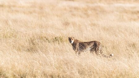 Adult cheetah, acinonyx jubatus, in the grasslands of the Masai Mara, Kenya. Side view with space for text.