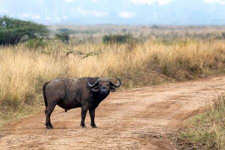 Male adult buffalo, Syncerus caffer caffer, in Nairobi National Park, Kenya.